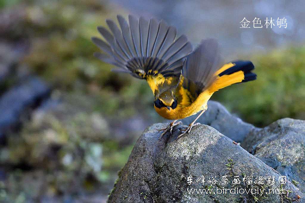 车 峰 峪 原 画 幅 摄 影 园  // www.birdlovely.net