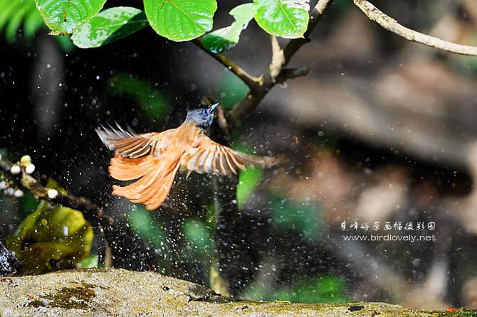鸟 是 大 自 然 天 使     爱 鸟 等 于 爱 自 己  // www.birdlovely.net