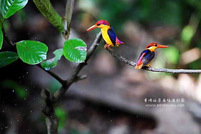 车峰峪 BIRD WORLD  //www.birdlovely.net
