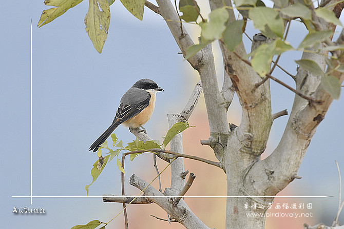 灰背伯劳 Grey-backed Shrike