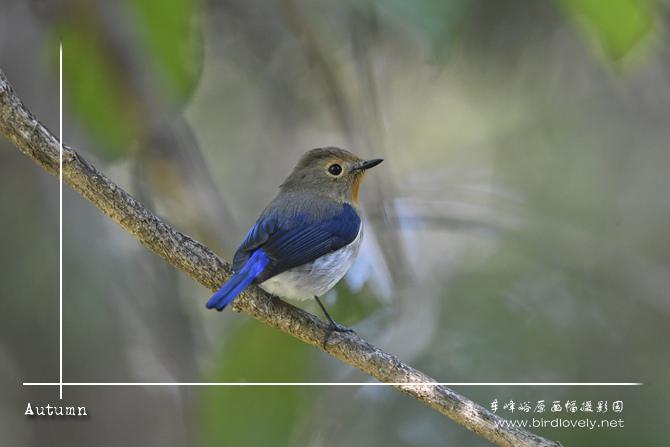 玉头[姬]鹟 Sapphire Flycatcher