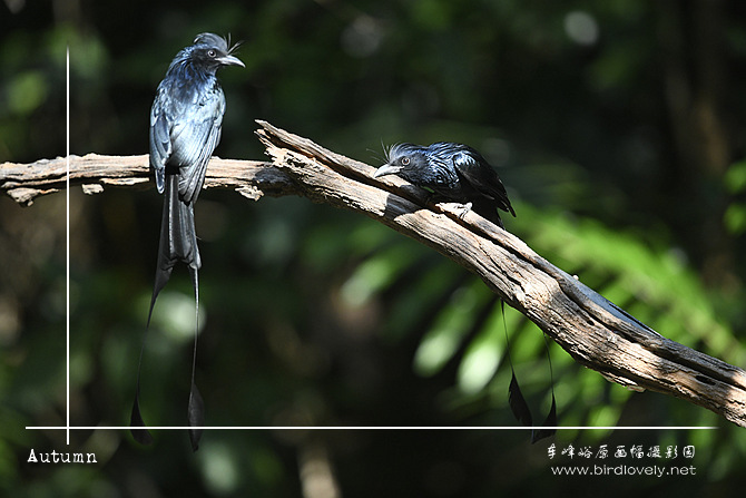 大盘尾 Greater Racket-tailed Drongo