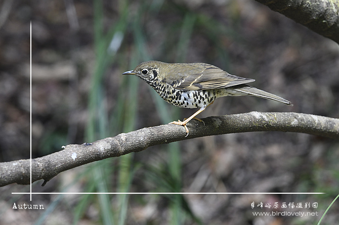 长尾地鸫 Long-tailed Thrush