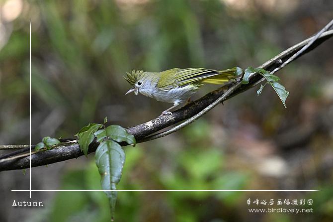 白腹凤鹛 White-bellied Yuhina