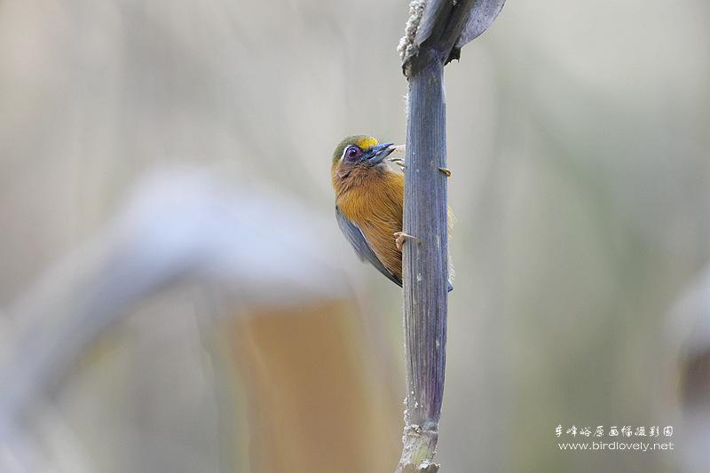 玉米地里的白眉棕啄木鸟