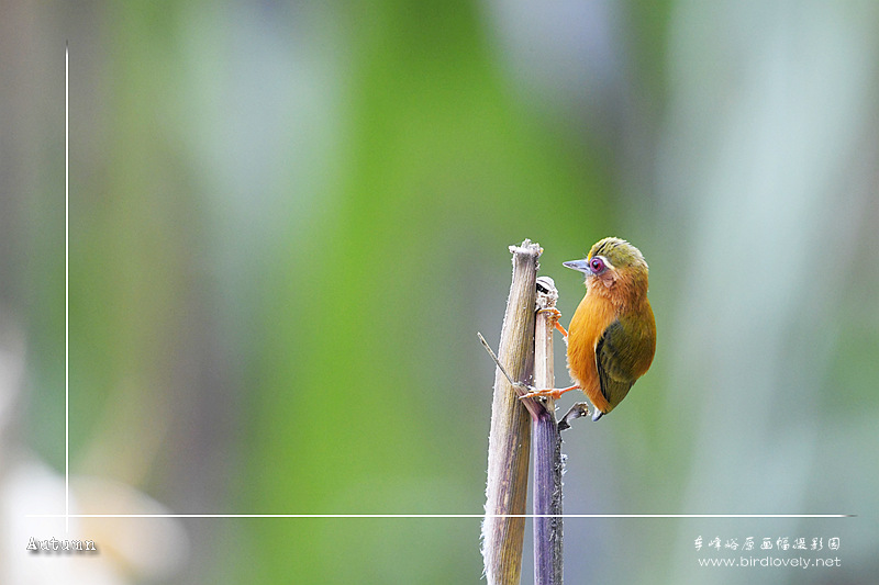 白眉棕啄木鸟 White-browed Piculet
