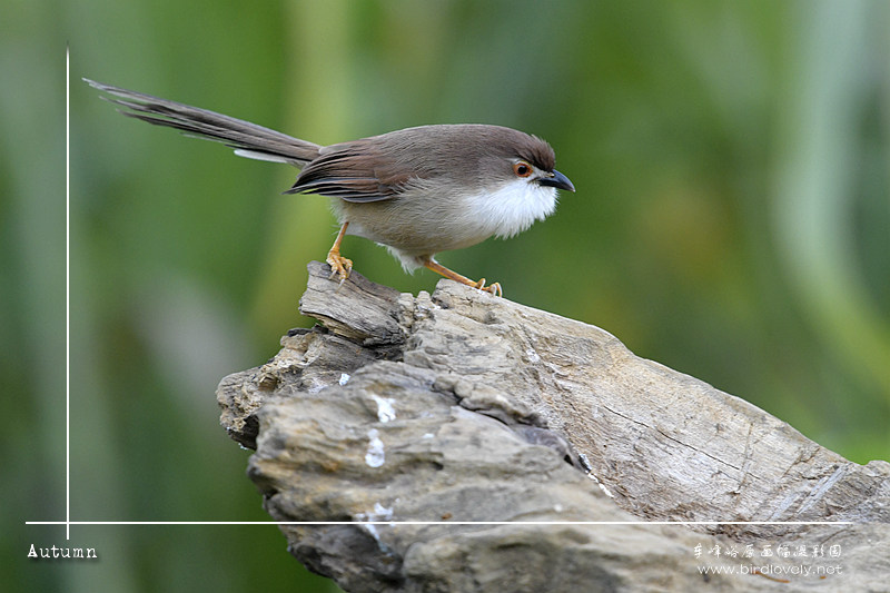 金眼鹛雀 Yellow-eyed Babbler