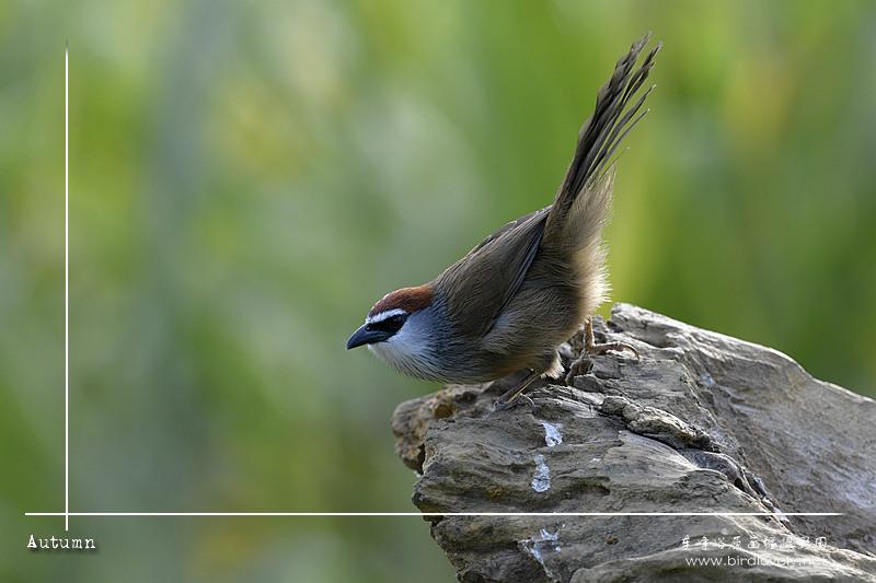 红顶鹛 Chestnut-capped Babbler