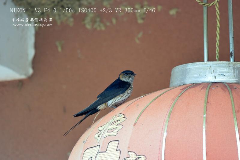 尼康V3配镜拍鸟优劣谈