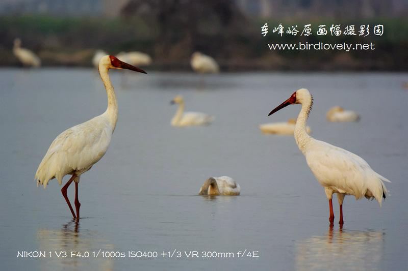 尼康V3+300/4拍白鹤