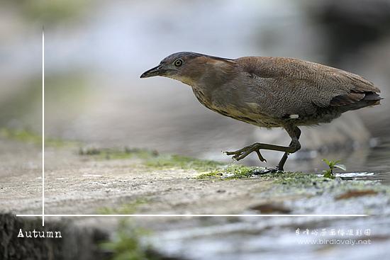 黑冠鳽Malaysian Night-heron